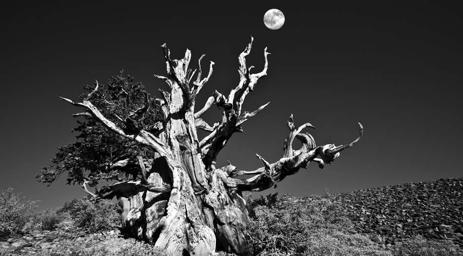 Full moon over an ancient bristlecone pine