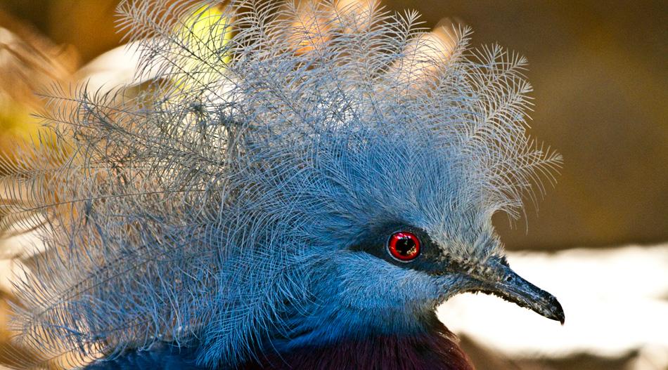 Scheepmaker's Crowned Pigeon