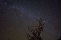 Ancient Bristlecone Pine Under the Milky Way