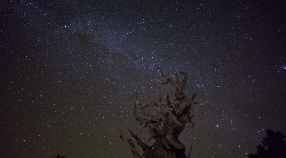 Ancient Bristlecone Pine Under the Milky Way